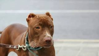 American Pitbull Terrier photo video 1