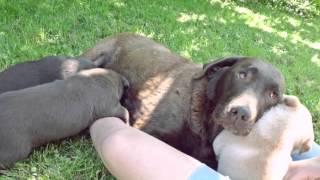 Labrador Retriever Welpen In Aschau