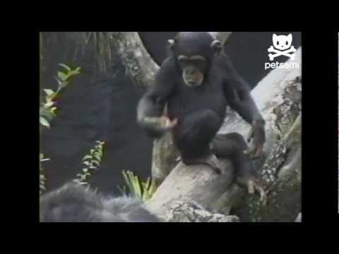 Curious monkey itches his butt and takes a whiff