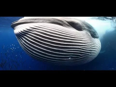 Whales Eating Fish, Must Watch