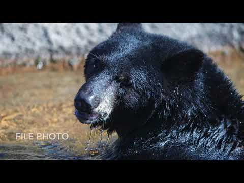Backyard bears in Pa.: What to do (and what not to do) if you see one