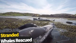 Dramatic footage of multiple stranded whales rescued off a remote island in Scotland