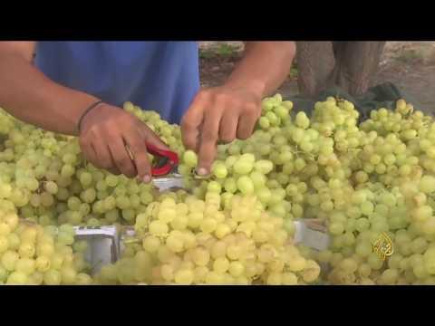 هذا الصباح- حصاد منخفض للعنب في غزة  - نشر قبل 41 دقيقة