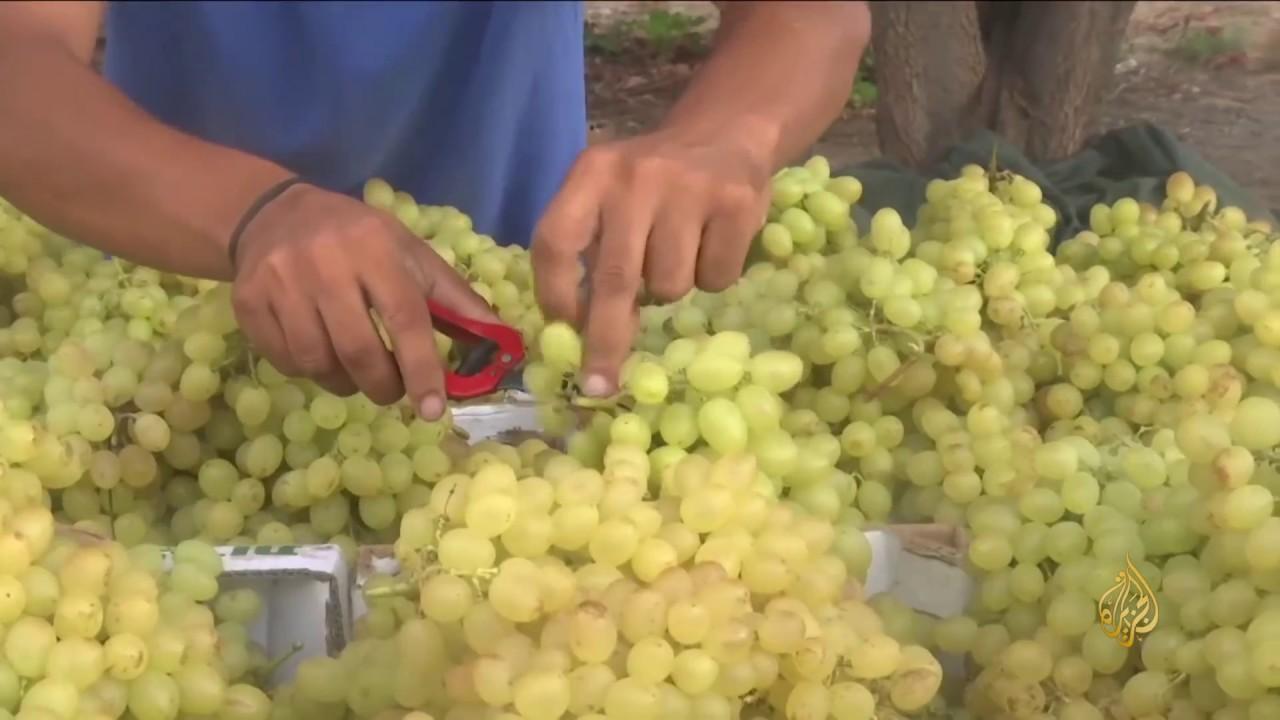 الجزيرة:هذا الصباح- حصاد منخفض للعنب في غزة