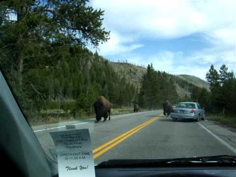 Bison Running on Yellowstone Road