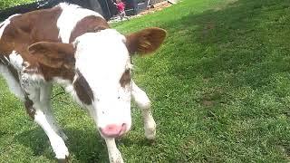 Маленькая корова. Домашние животные. Корова Лёля. Настоящая корова, теленок. У коровы нет других заб