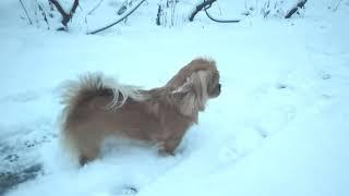 Первый снег увидела Вивьен (2021) Tibetan Spaniel