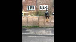 Rottweiler Jumping Over Fence