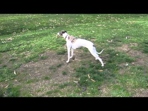 Whippet showing ataxia and collapse with exercise