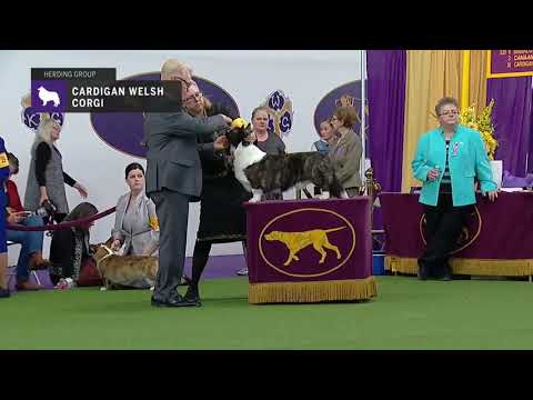 Cardigan Welsh Corgis | Breed Judging 2019