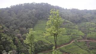 Munnar tea plantations (Kerala, India)