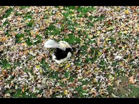 Skunks fighting in back yard!! - YouTube