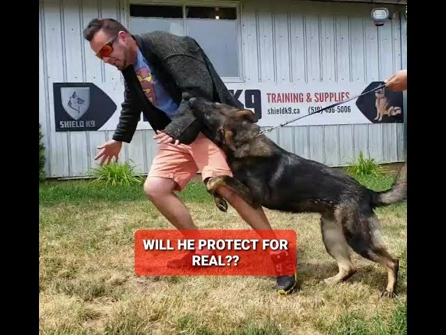 Training a dog to ATTACK for real!