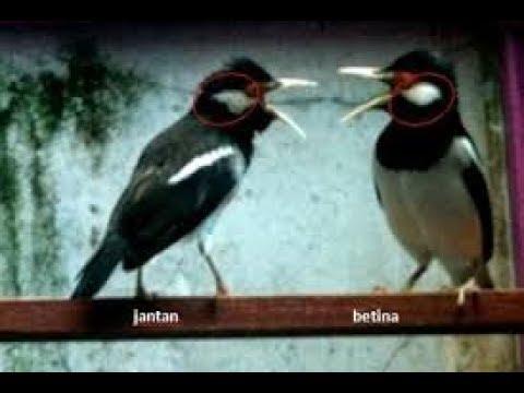 KETAHUILAH !!! Inilah Ciri Ciri Burung Jalak Suren Jantan dan Betina