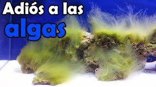 Como eliminar todas las algas del acuario,de forma eficaz y completa.