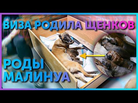 Наша Малинуа Виза стала мамой | Роды бельгийской овчарки | Новорожденные щенки Малинуа | Школа DRED