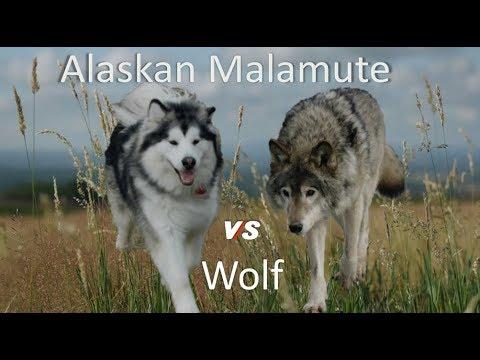 Alaskan Malamute Vs Wolf