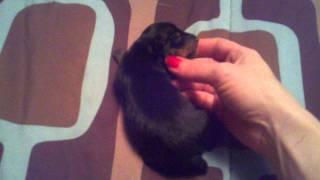 Newborn Min Pin