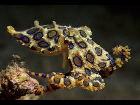 Blue Ringed Octopus Nervous System