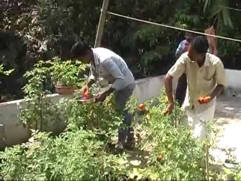 Thakkali krishi 1 youtube for Terrace krishi