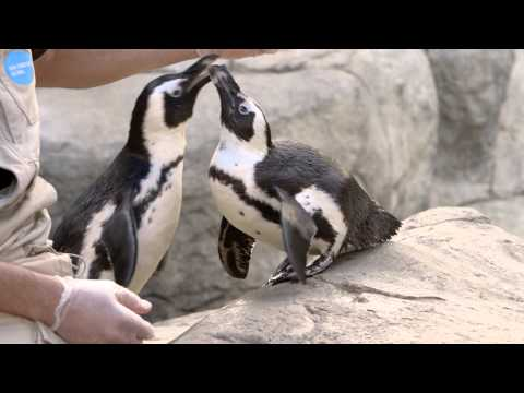 African Penguins Bond With Trainers at the San Diego Zoo
