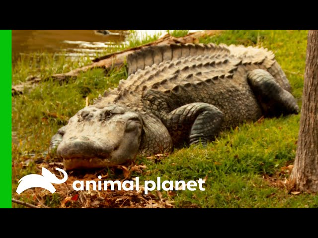 Giant Alligator Attacks Pets In Residential Area | Lone Star Law