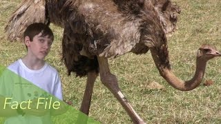 Facts About The Ostrich