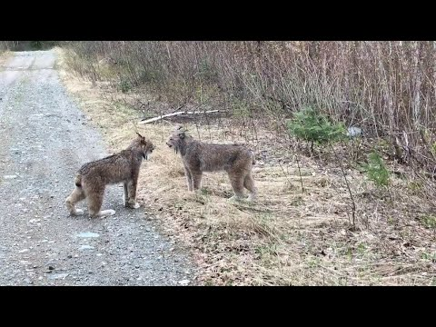 Download 12 SCARY Bobcat Videos to Make You Run the Other Way!