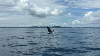 Les Baleines sautent ! Nosy Be, Madagascar avec LES BALEINES RANDEAU