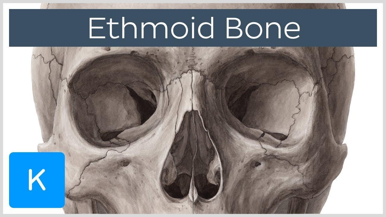 Ethmoid bone - Anatomy, Function & Location - Human Anatomy | Kenhub ...