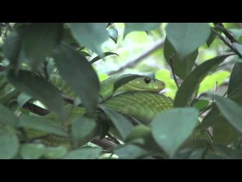 Zanzibar Life: Green Mamba in Matemwe