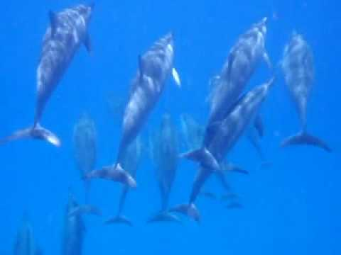SeaHawaii Hawaiian Spinner Dolphin Snorkeling Tour