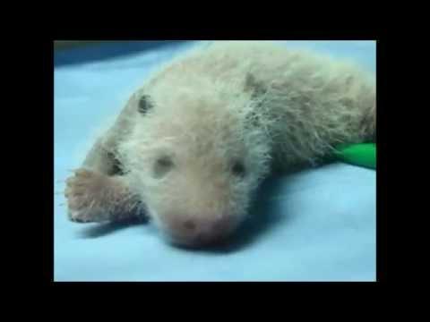 La cría de panda de Zoo Aquarium de Madrid cumple 8 días