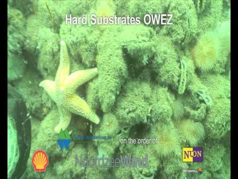 Underwater life on offshore wind turbines in The Netherlands
