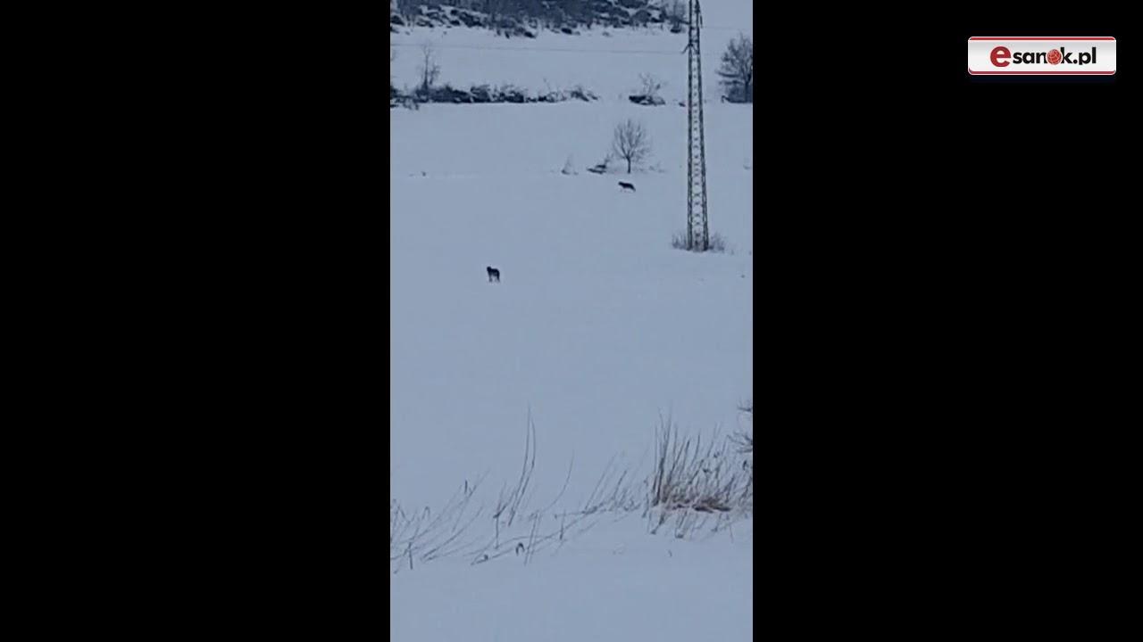 Kolejny film z wilkami w roli głównej (VIDEO)