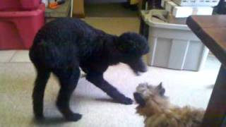Standard Poodle Sparring With Cairn Terrier! Cute!
