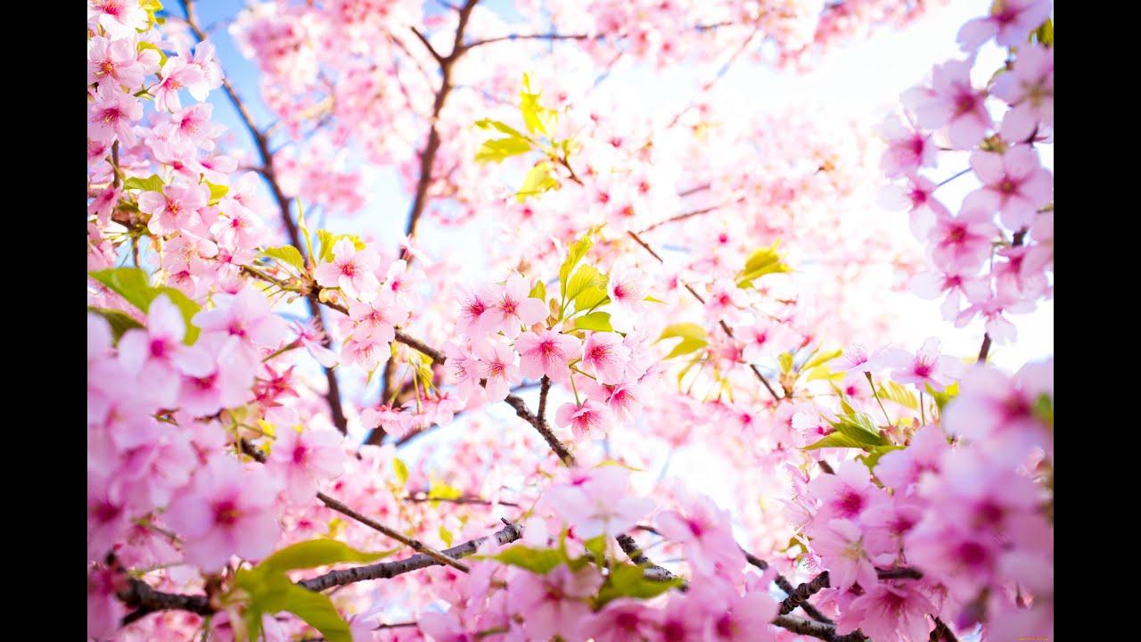 Уроки акварели Цветущая вишня  YouTube