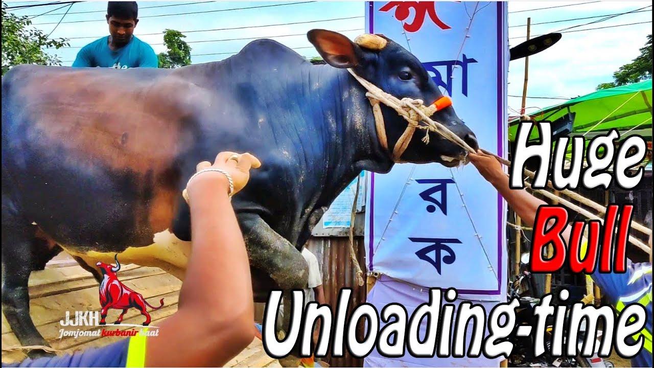 Huge Bull Unloading time   Wealthtech Agro   2021  