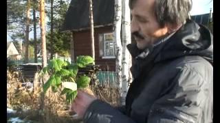 Обрезка кустов черной смородины осенью(, 2013-10-20T12:07:20.000Z)