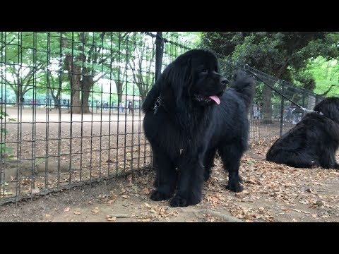 Newfoundland from Romania in Tokyo Japan
