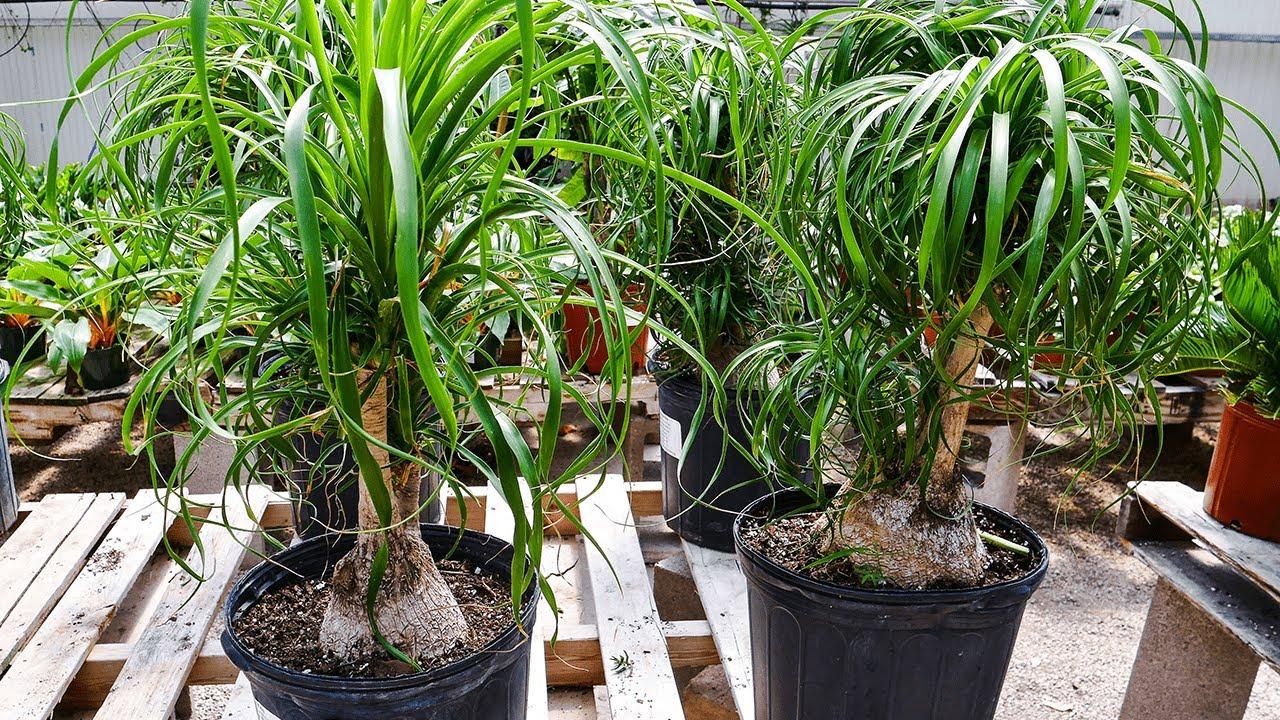 Ponytail Palm Care Tips A Fun Unique Houseplant Joy Us Garden Youtube