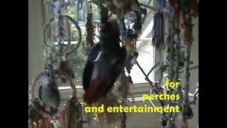 Myth-busting!  Parrot Training - Indoor Free Flying - Duck!! Pet Parrot Free Flight Skills