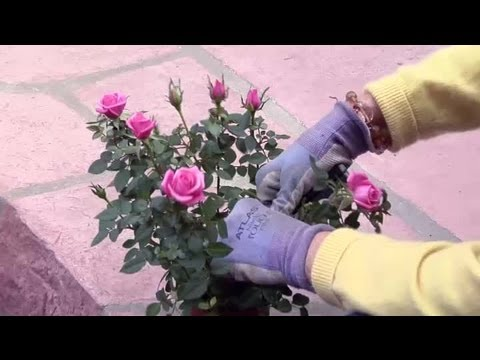 How To Prune Miniature Rose Bushes Gardening Advice
