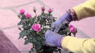 How to Prune Miniature Rose Bushes : Gardening Advice