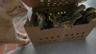 Picking Up Turkeys from the Post Office (Kittens Meet Turkey Babies)