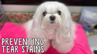 How To Keep Maltese Dog's Face White: Daily Face Cleaning To Prevent Tear Stains 4K