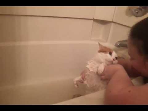 Fat cat really HATES getting a bath!