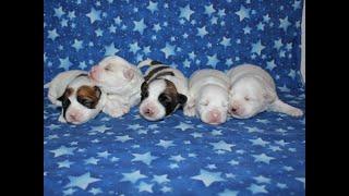 Coton de Tulear Puppies For Sale - Isabella 1-14-20