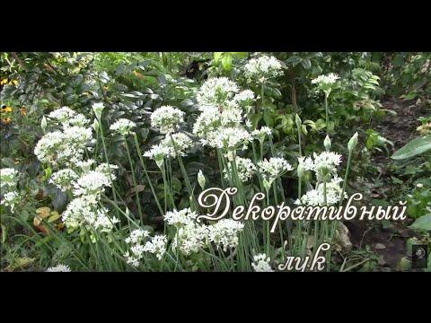 Какой бывает лук виды, фото и описание Сайт о саде