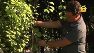 видео Живая изгородь в ландшафтном дизайне, растения применяемые для создания живой изгороди, уход за живой изгородью